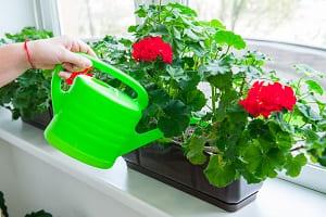 Поливаем комнатных растений из лейки