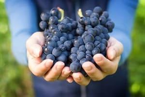 Сохраняем виноград на зиму